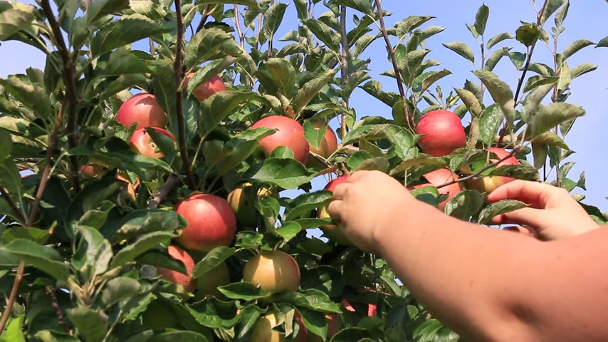 ramo : Apple picking in orchard