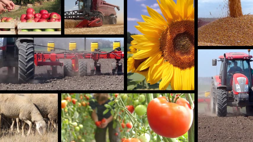 sheep pig : Agriculture - food production, planting corn, soybean, sunflower, harvest wheat, tractor working, tomato, apple, farm animal, cow, pig, chicken, sheep. Split screen, several different footages in collage