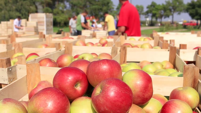 pomar : Cart full of apples after picking, workers sorting apples in farm