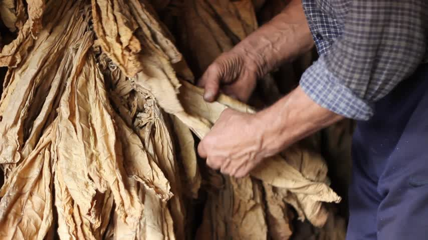 tabaco : Farmer drying Tobacco Stock Footage