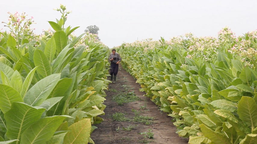 никотин : Farmer going through a tobacco field and pulling the weeds