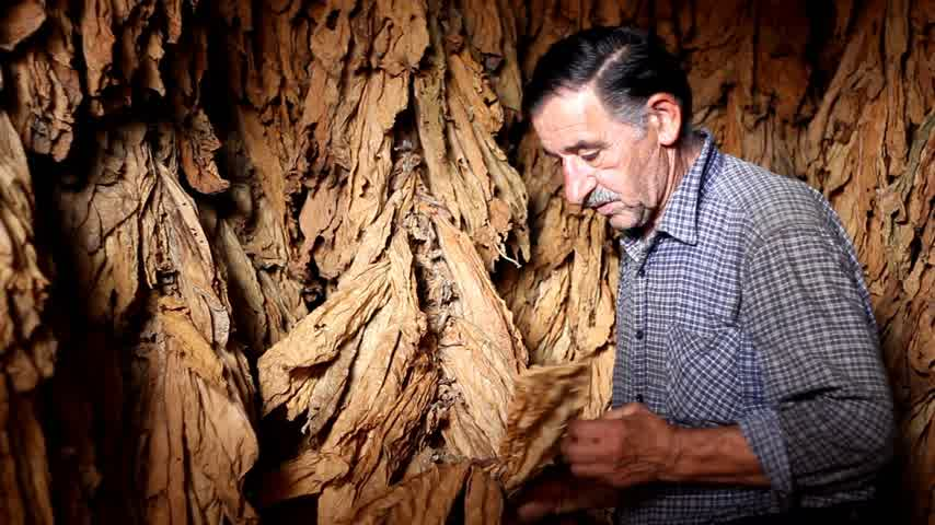 никотин : Farmer looks dry tobacco leaf Стоковые видеозаписи