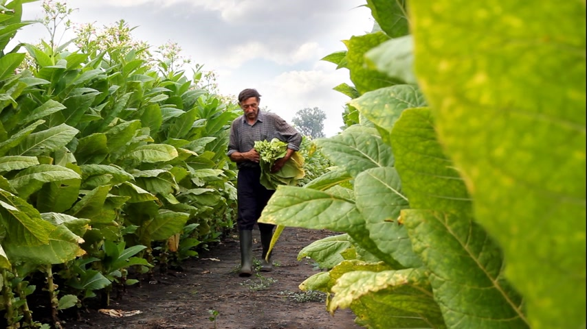 никотин : Farmer picking tobacco in the field