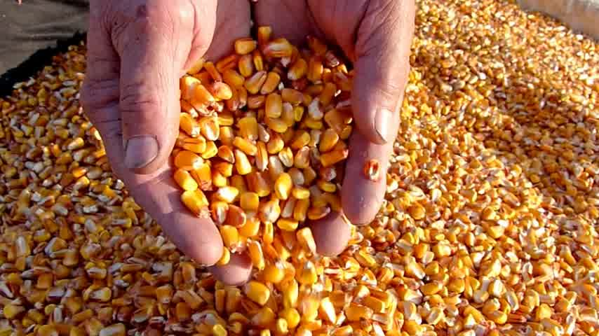 milho : Corn grains in a hand - good harvest, slow motion