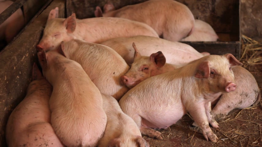 svině : Piglets in pork farm