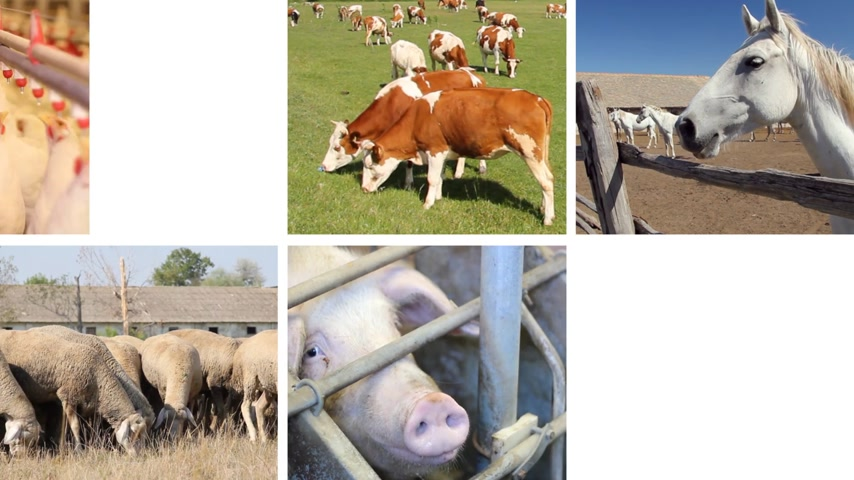 sheep pig : Farm animals collage, cows, horses, chicken, pigs, sheep, goat, piglets, goose, rooster Stock Footage