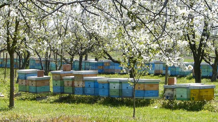 pomar : Beekeeping, beehives in the blooming cherry orchard
