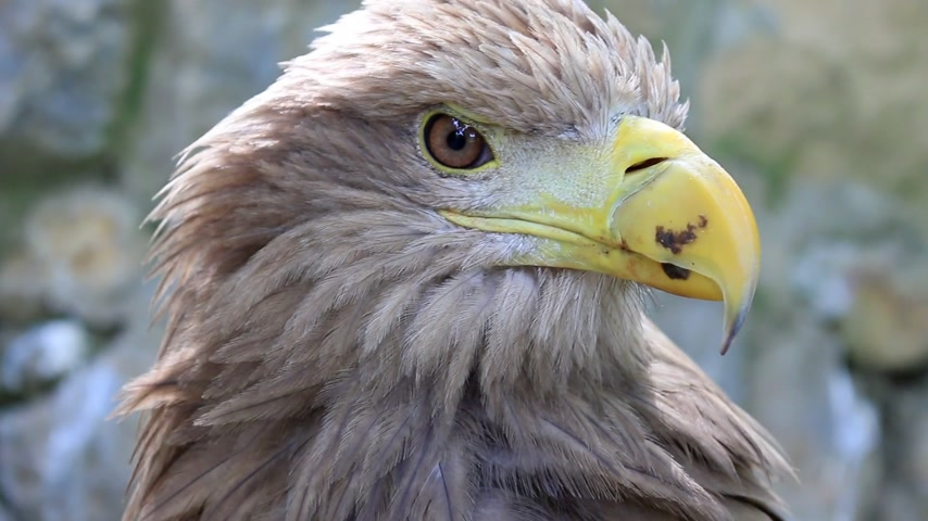at kuyruğu : White-tailed Eagle, close up Stok Video