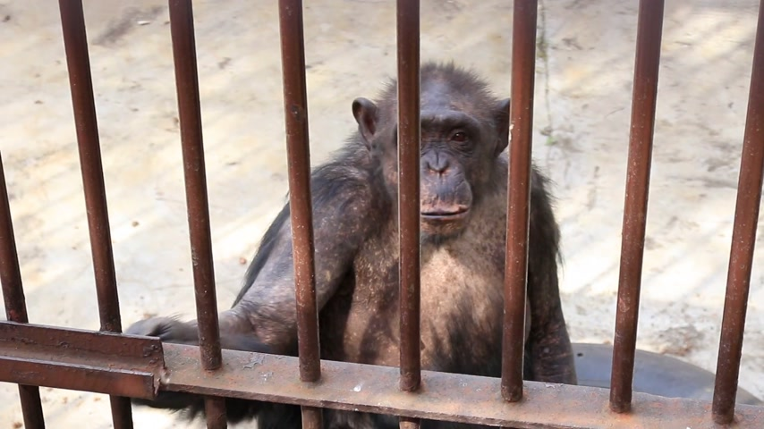klatka : Old and sad chimpanzee in a cage at the zoo