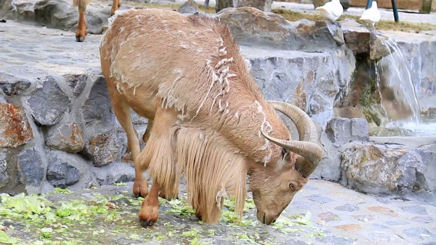 chamois : Feeding a chamois at the zoo