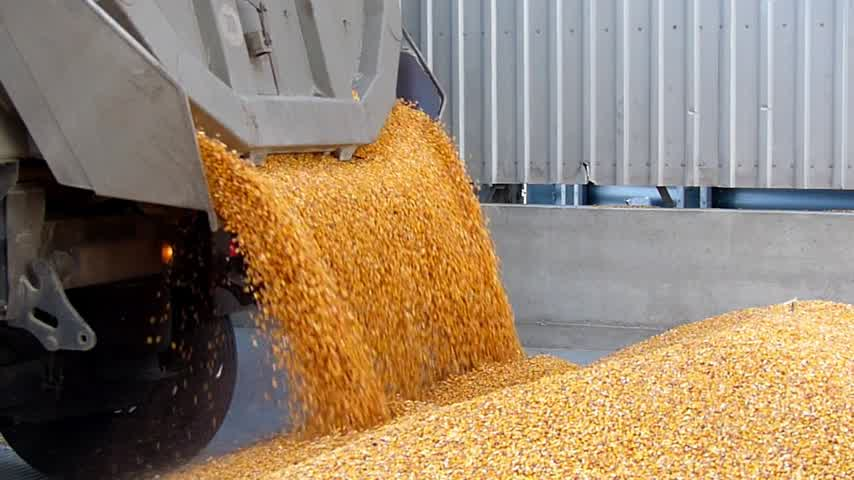 трейлер : Corn grain in a agricultural silo, unloading from the truck trailer after harvest, slow motion