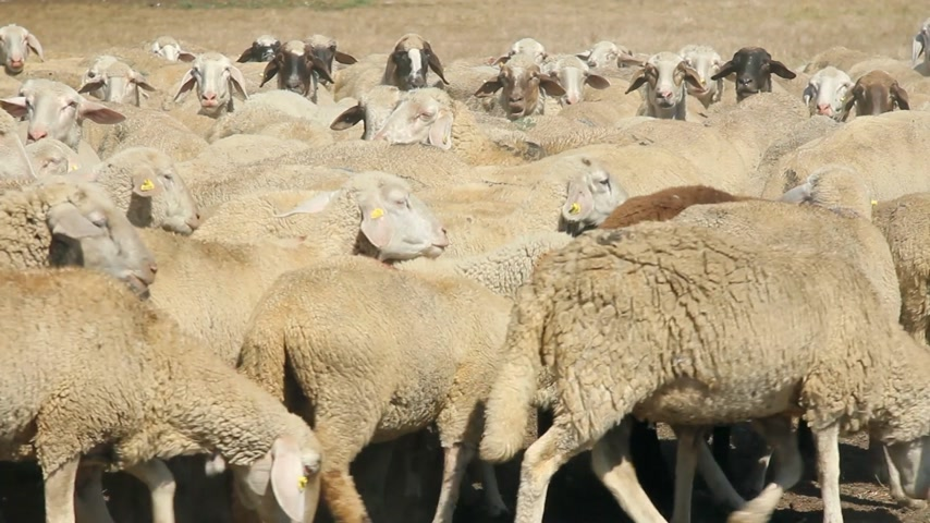 koyun : Herd of sheep on pasture