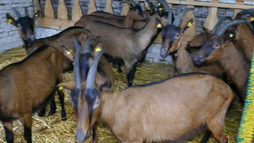 billy goat : Goat on farm Stock Footage