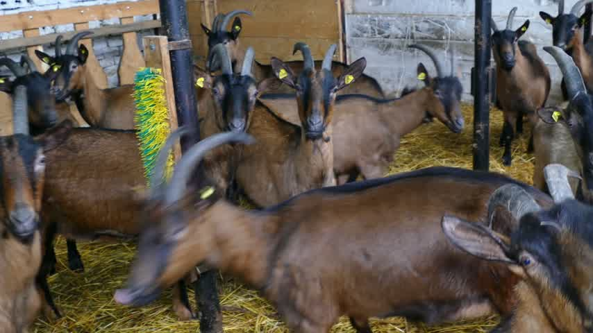 cabra : Goat on farm Stock Footage