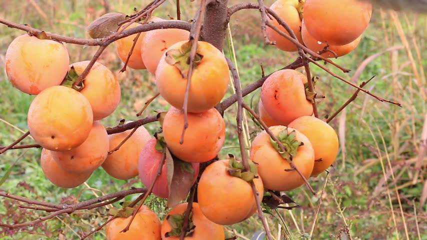 kaki : Farmer plukken Japanse persimmon in een boomgaard, sharon fruit