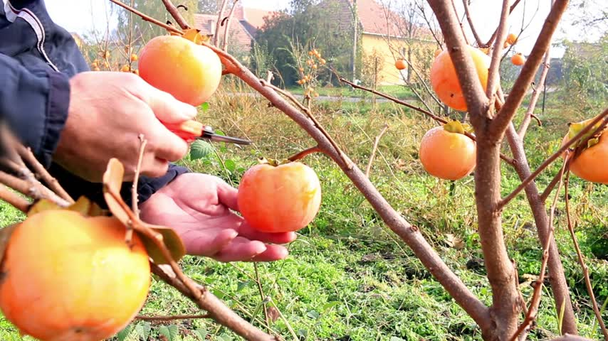 ramo : Farmer picking japanese persimmon in a orchard, sharon fruit Vídeos