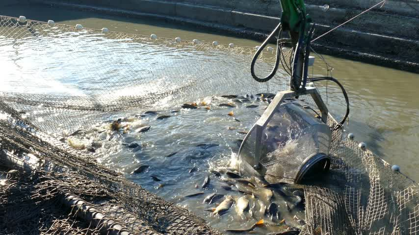 fish farm : Fishermen catch a freshwater fish from the fish pond with agricultural machinery and prepare for sort and sale Stock Footage
