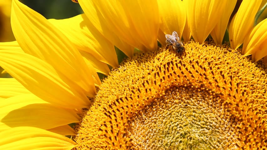 girassóis : Bees and ladybird together on sunflower, beauty in nature
