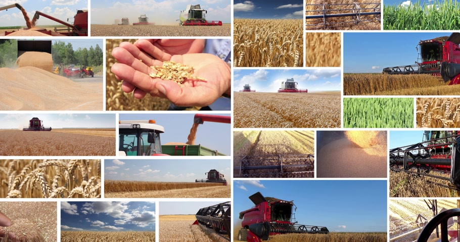 colheita : Production of wheat, collage. Combine harvesting, wheat grain after good harvest, transport and storage in silos