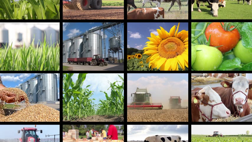 farmer animals : Agriculture - food production, corn grain, soybean, irrigation, lettuce, sunflower, silo, harvest wheat, tractor working, apple, onion, cucumber, apricot, tomato, grape and wine, farm animal, pig, piglet, goat, sheep, chicken, cow, fish. Split screen, sev Stock Footage
