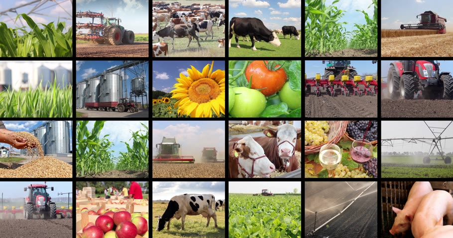 sheep pig : Agriculture - food production, corn grain, soybean, irrigation, lettuce, sunflower, silo, harvest wheat, tractor working, apple, onion, cucumber, apricot, tomato, grape and wine, farm animal, pig, piglet, goat, sheep, chicken, cow, fish. Split screen, sev Stock Footage