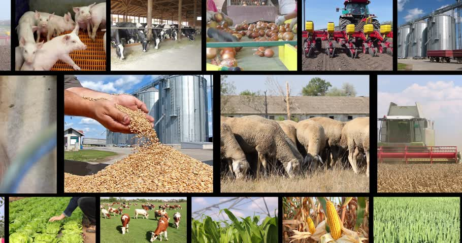 sheep pig : Agriculture - food production, corn grain, irrigation, lettuce, sunflower, silo, harvest wheat, tractor working, apple, onion, tomato, grapes and wine, farm animal, pig, piglet, sheep, chicken, cow, fish. Split screen, several different footages in collag Stock Footage