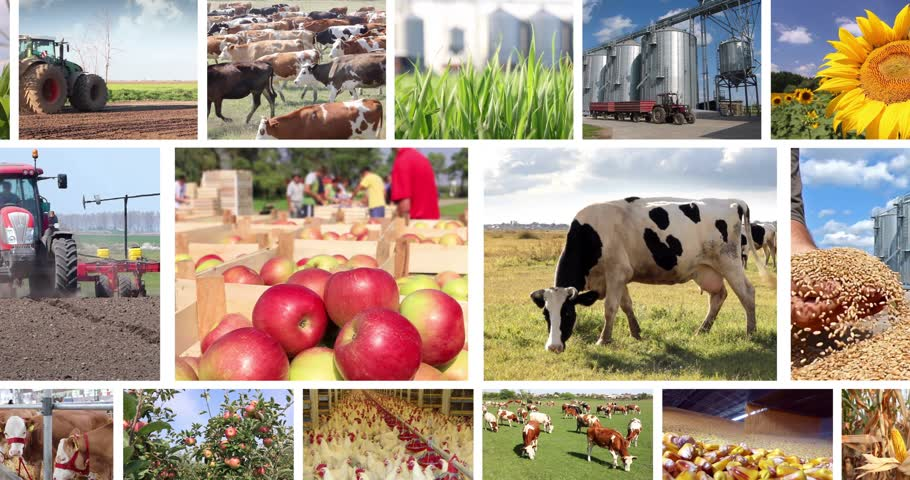 irrigação : Agriculture - food production, corn grain, irrigation, lettuce, sunflower, silo, harvest wheat, tractor working, apple, onion, tomato, grapes and wine, farm animal, pig, piglet, sheep, chicken, cow, fish. Split screen, several different footages in collag Vídeos