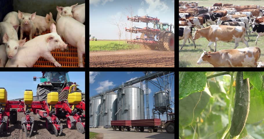 farmer animals : Agriculture - food production, corn grain, irrigation, sunflower, silo, harvest wheat, tractor working, apple, onion, green beans, cucumber, grape, farm animal, pig, piglet, turkey, cow, fish. Split screen, several different footages in collage Stock Footage