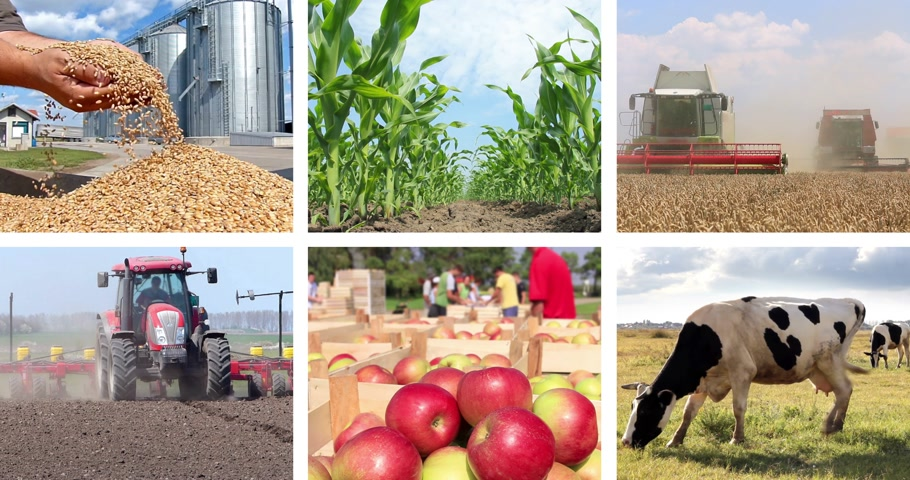 sheep pig : Agriculture - food production, harvest wheat, corn, irrigation, sunflower, silo, tractor working, apple, apricot, tomato, sheep, farm animal, pig, piglet, goat, cow. Split screen, several different footages in collage