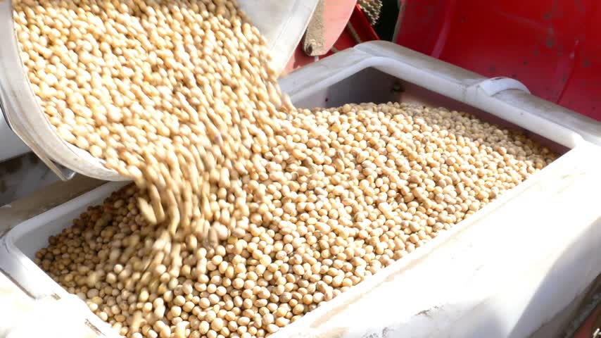soja : Preparing for sowing, pouring soybean seeds for planting