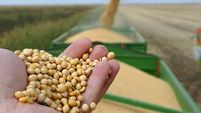 sojový : Soybean seeds in a hand after good harvest of successful farmer, combine harvester transferring freshly harvested soy to tractor-trailer, slow motion