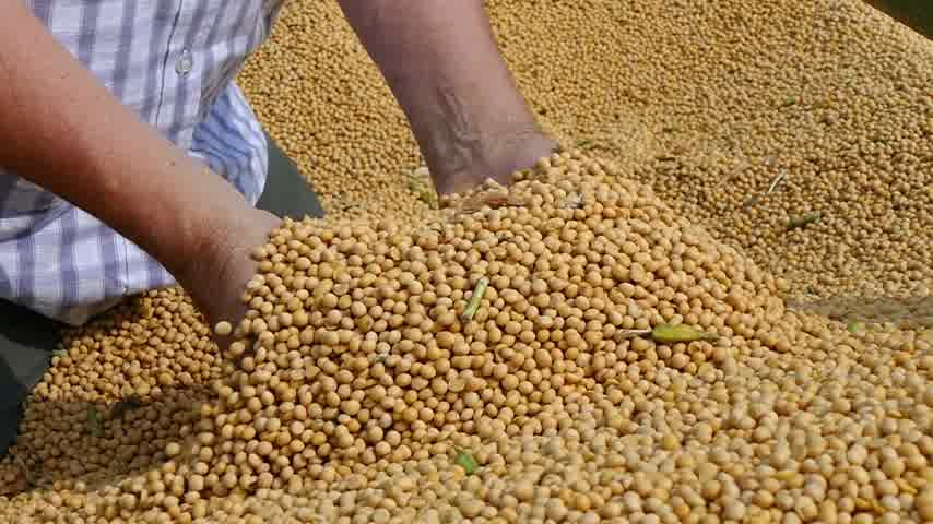 sojový : Soybean in a hand after good harvest of successful farmer, slow motion