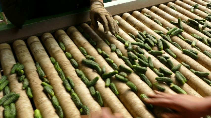 classify : Gherkins processing factory. People working, classify and control the processing of cucumber Stock Footage