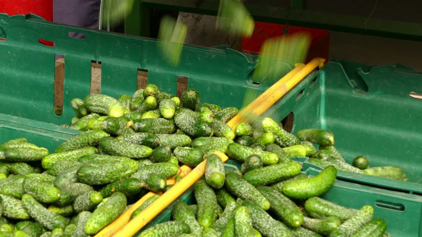pickling : Production of pickles, gherkins processing plant Stock Footage