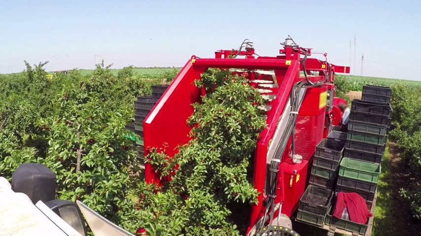 сельскохозяйственный : Agricultural machine harvesting cherries in the orchard