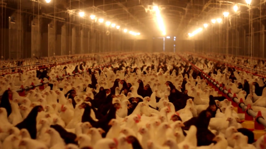 population explosion : Chicken Farm, poultry production Stock Footage