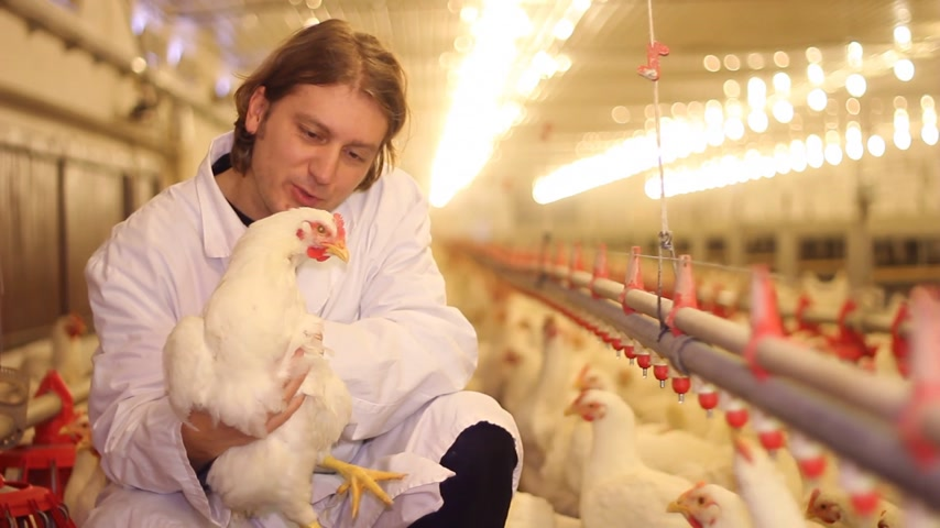 population explosion : Vet working on chicken farm, eggs and poultry production Stock Footage