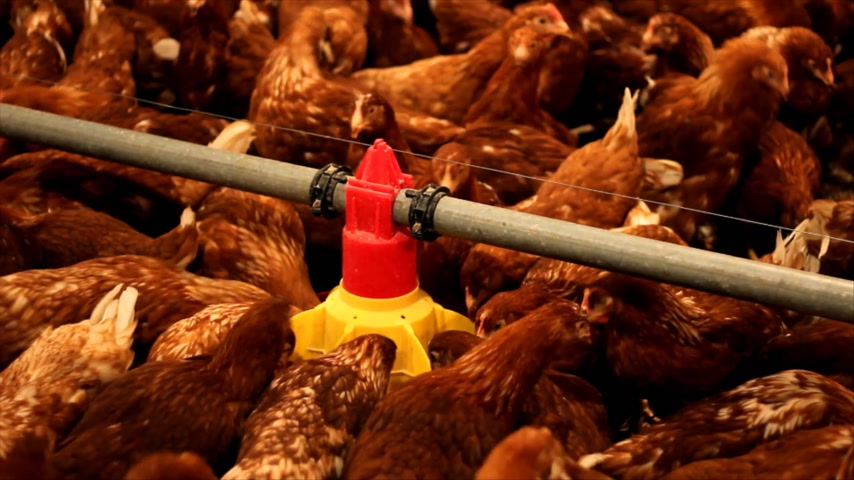 population explosion : Chicken Farm, flock of birds, eggs and poultry production Stock Footage