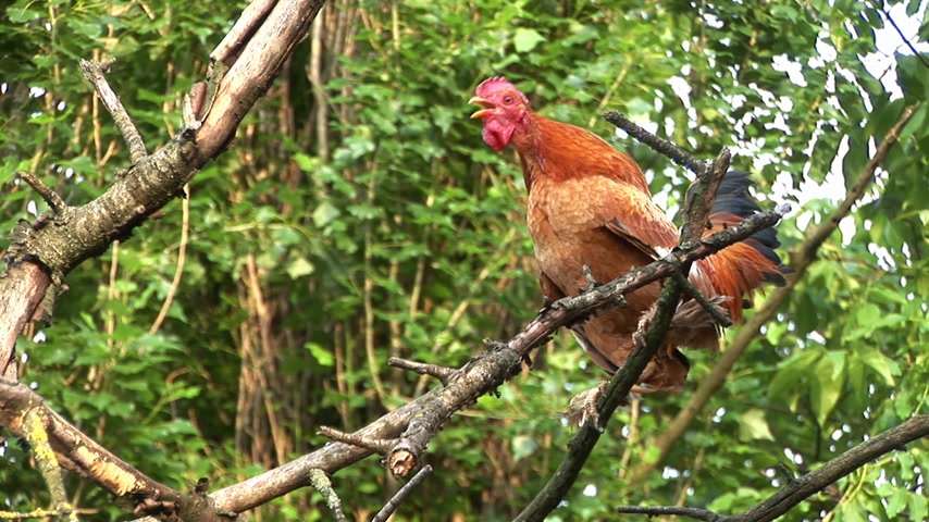 territorial : Rooster crowing on the tree