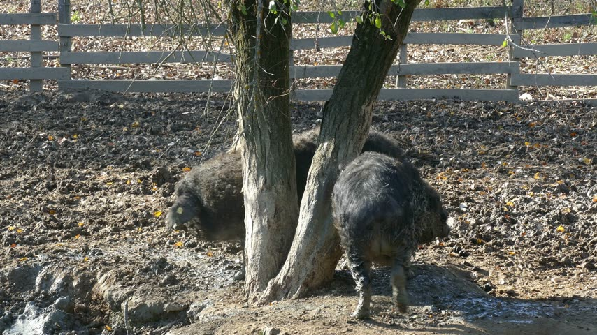 mangalitsa : Dirty and muddy pigs scratching on a tree. Mangalitsa - The Woolly Sheep-Pig, healthy environment and organic food production