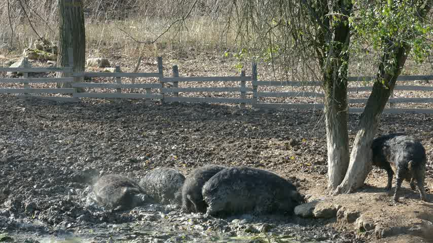 mangalitza : Happy pigs rolling in mud. Mangalitsa - The Woolly Sheep-Pig, healthy environment and organic food production