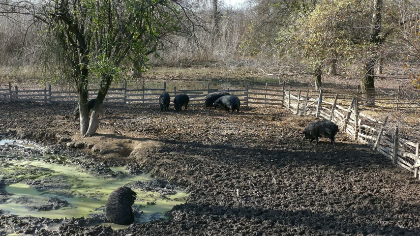 mangalitza : Domestic pigs feeding in mud. Mangalitsa - The Woolly Sheep-Pig, healthy environment and organic food production Stock Footage