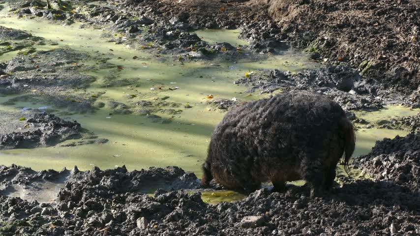 mangalitsa : Happy pig in mud. Mangalitsa - The Woolly Sheep-Pig, healthy environment and organic food production Stock Footage