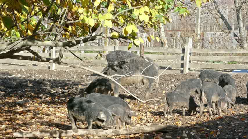 mangalitsa : Domestic pigs feeding in mud. Mangalitsa - The Woolly Sheep-Pig, healthy environment and organic food production Stock Footage