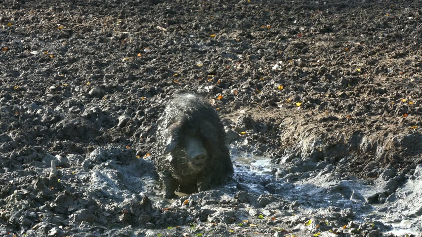 piglet : Happy pig rolling in mud. Mangalitsa - The Woolly Sheep-Pig, healthy environment and organic food production Stock Footage