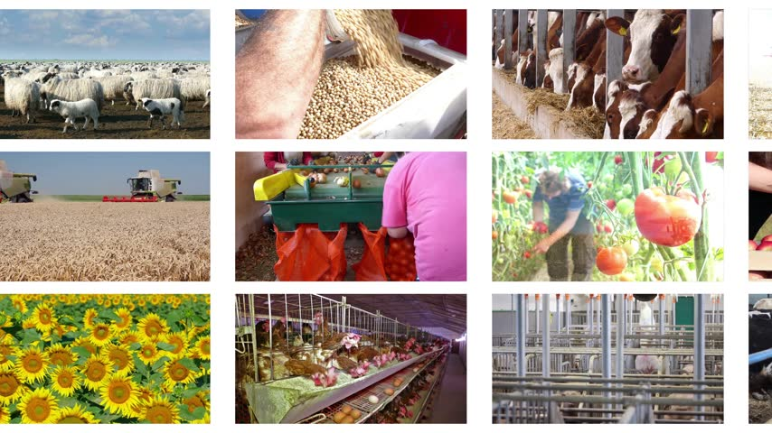 sheep pig : Agriculture - food production, corn grain, soybean, silo, harvest wheat, tractor working, combine, apple, onion, tomato, grape and wine, farm animal, pig, piglet, turkey, sheep, chicken, cow, milking, cucumber, potato, oilseed rape, sugar beet, goat, cher