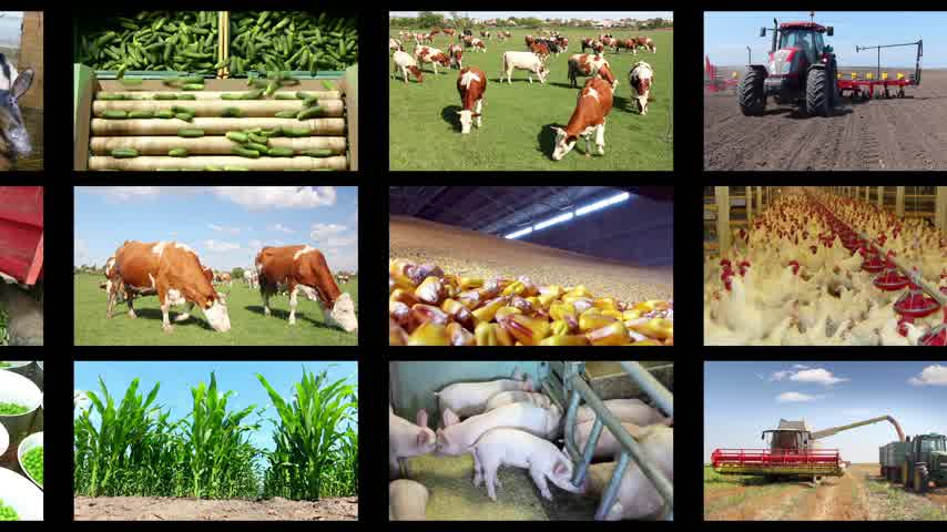 colheita : Agriculture - food production, corn grain, soybean, silo, harvest wheat, tractor working, combine, apple, onion, tomato, grape and wine, farm animal, pig, piglet, turkey, sheep, chicken, cow, milking, cucumber, potato, oilseed rape, sugar beet, goat, cher