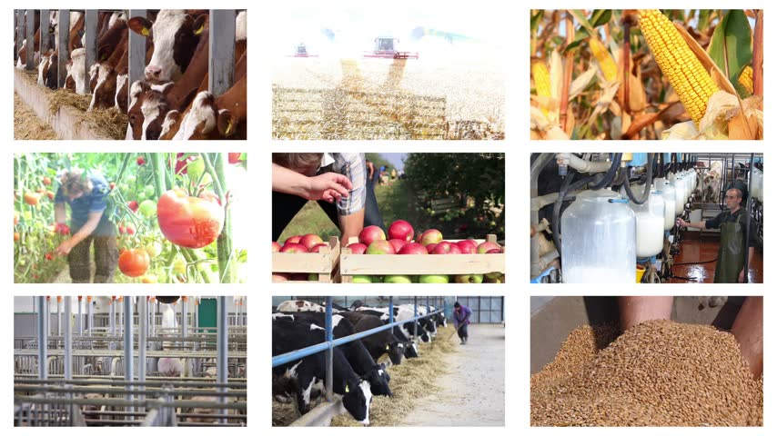 milking : Agriculture - food production, corn grain, soybean, silo, harvest wheat, tractor working, combine, apple, onion, tomato, grape and wine, farm animal, pig, piglet, turkey, sheep, chicken, cow, milking. Montage in collage, time lapse