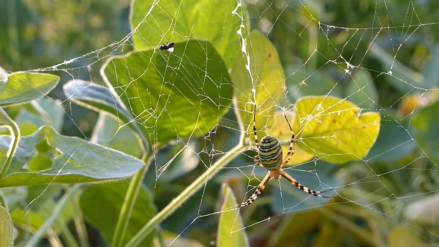arachnophobia : Spider on web in bushes awaits an insect to falls into a trap