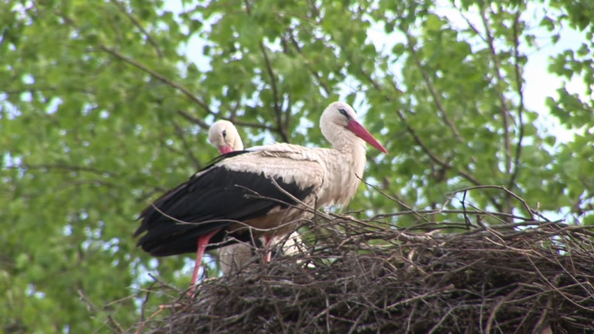 druh : Stork in nest